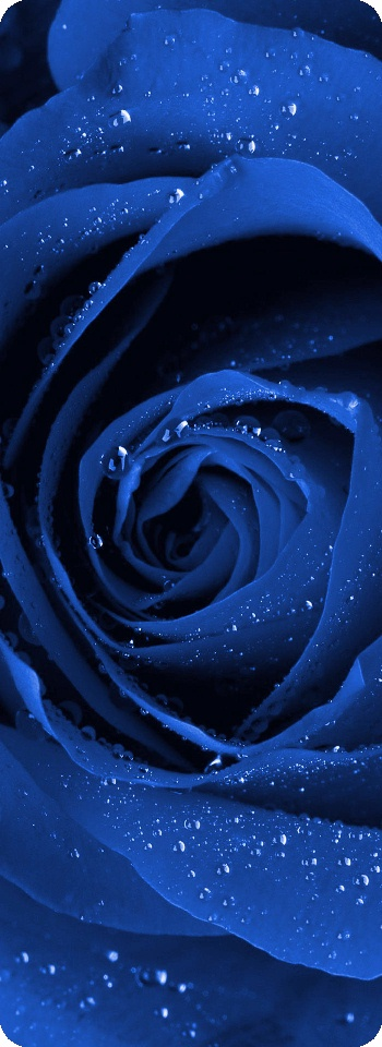 Poetry Clip Art of a Blue Rose